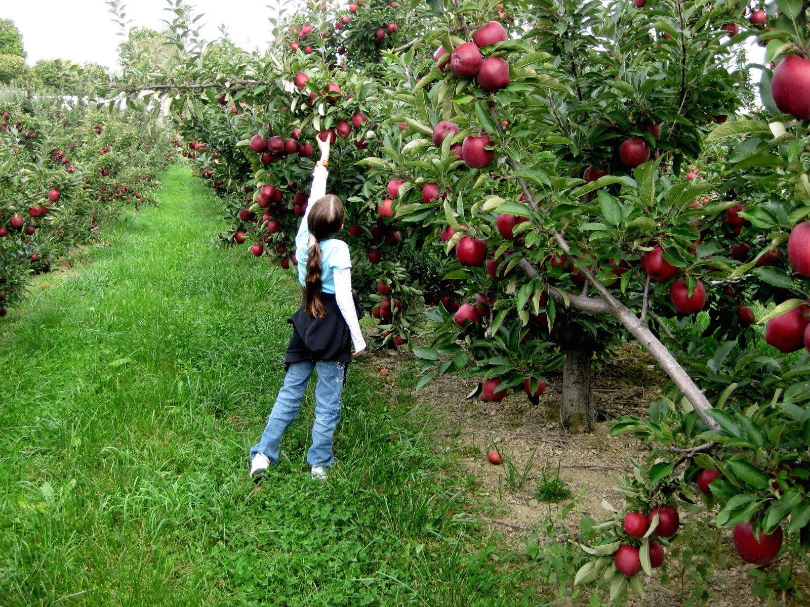 Pommes-cueillette-2