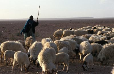 Troupeau-Maroc