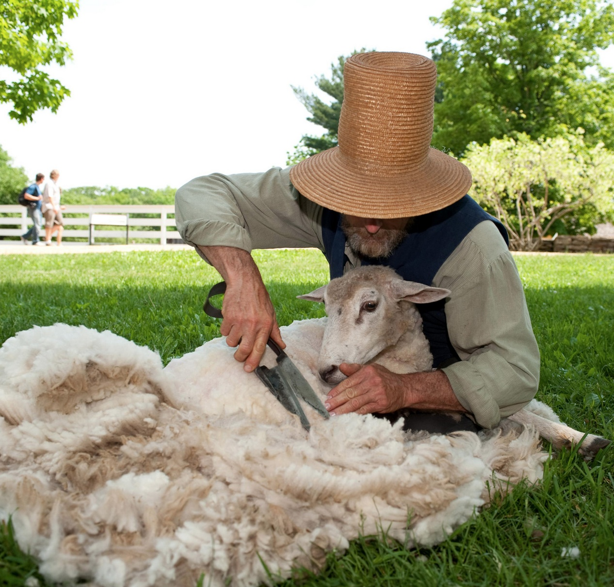 Tonte-mouton-2